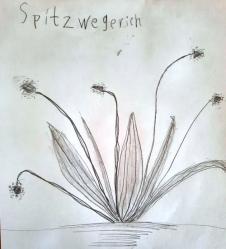 Spitzwegerich_5